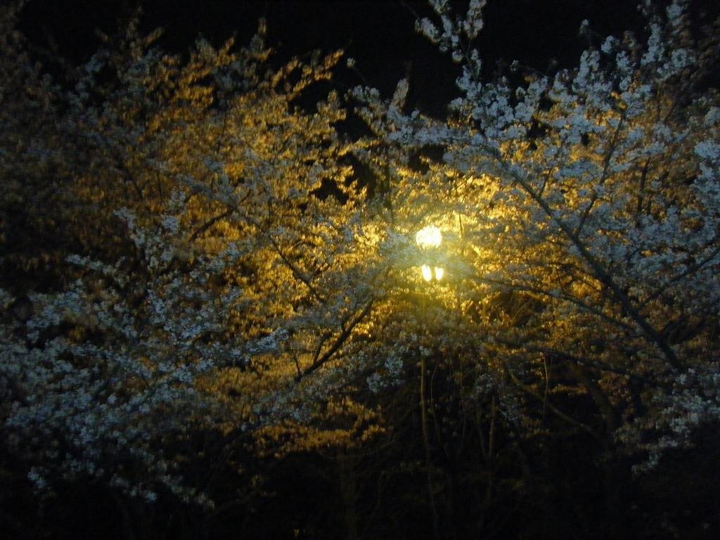 夜桜♪/pyOn吉